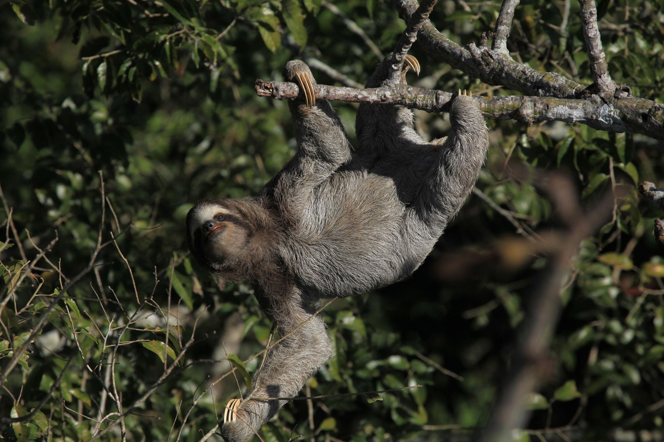 Pygmy Sloth of Panama