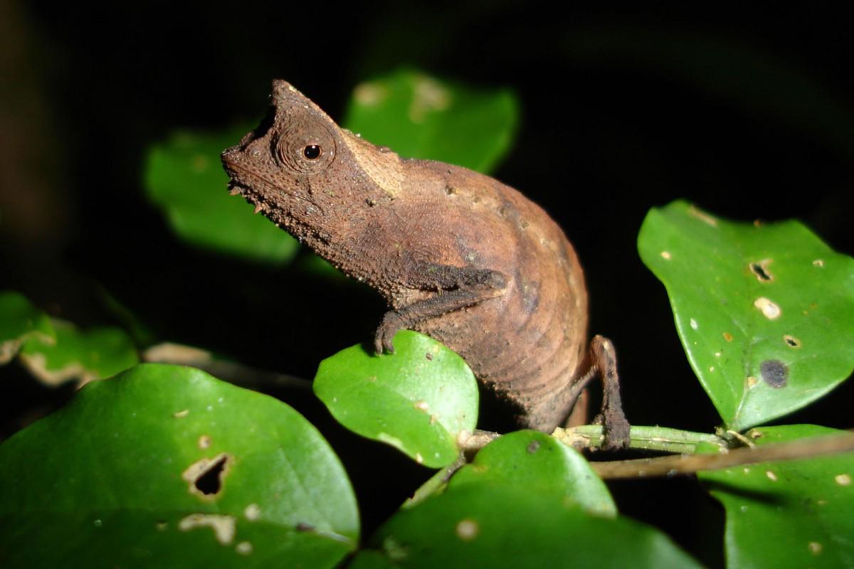 Madagascar-Tailormade-Tours-Andasible-Mantadia-PERINET-Brookesia