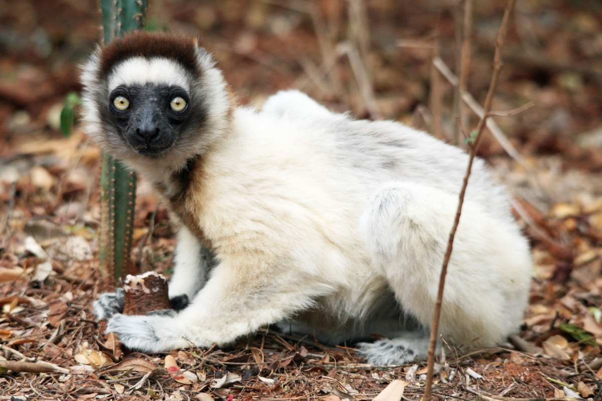 Madagascar-Wildlife-Tours-Berenty-Reserve_Verraux-Sifaka