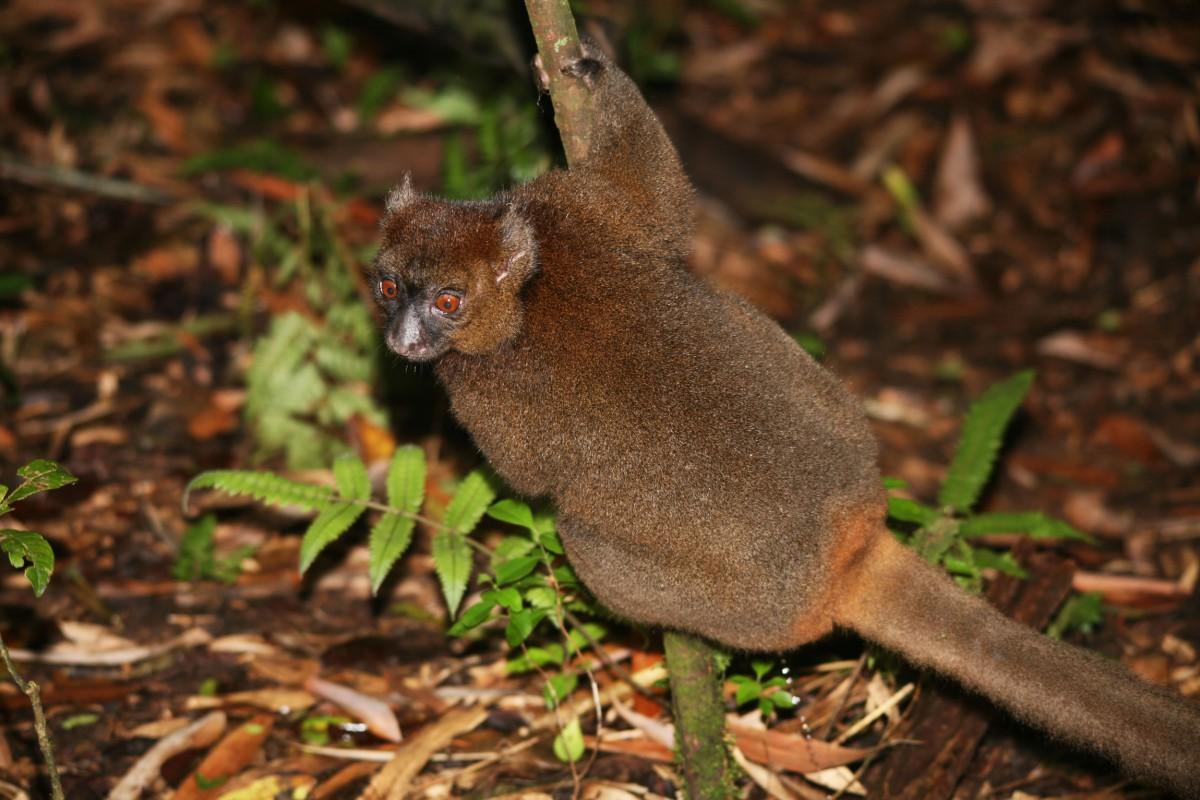 Madagascar-Wildlife-Tours-Ranomafana_Greater-bamboo-lemur