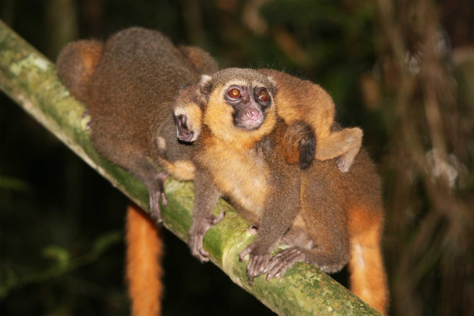Madagascar-Wildlife-Tours_Accommodation_SETAM-lodge-3-bamboo-lemur