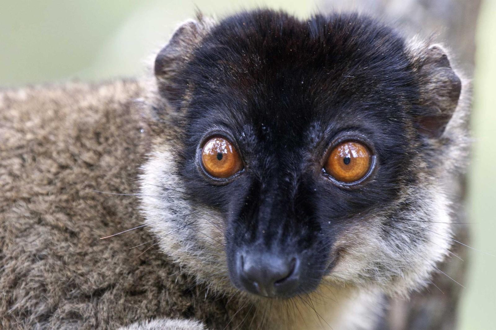 Madagascar-Wildlife-Tours_Tour_Lemur-2