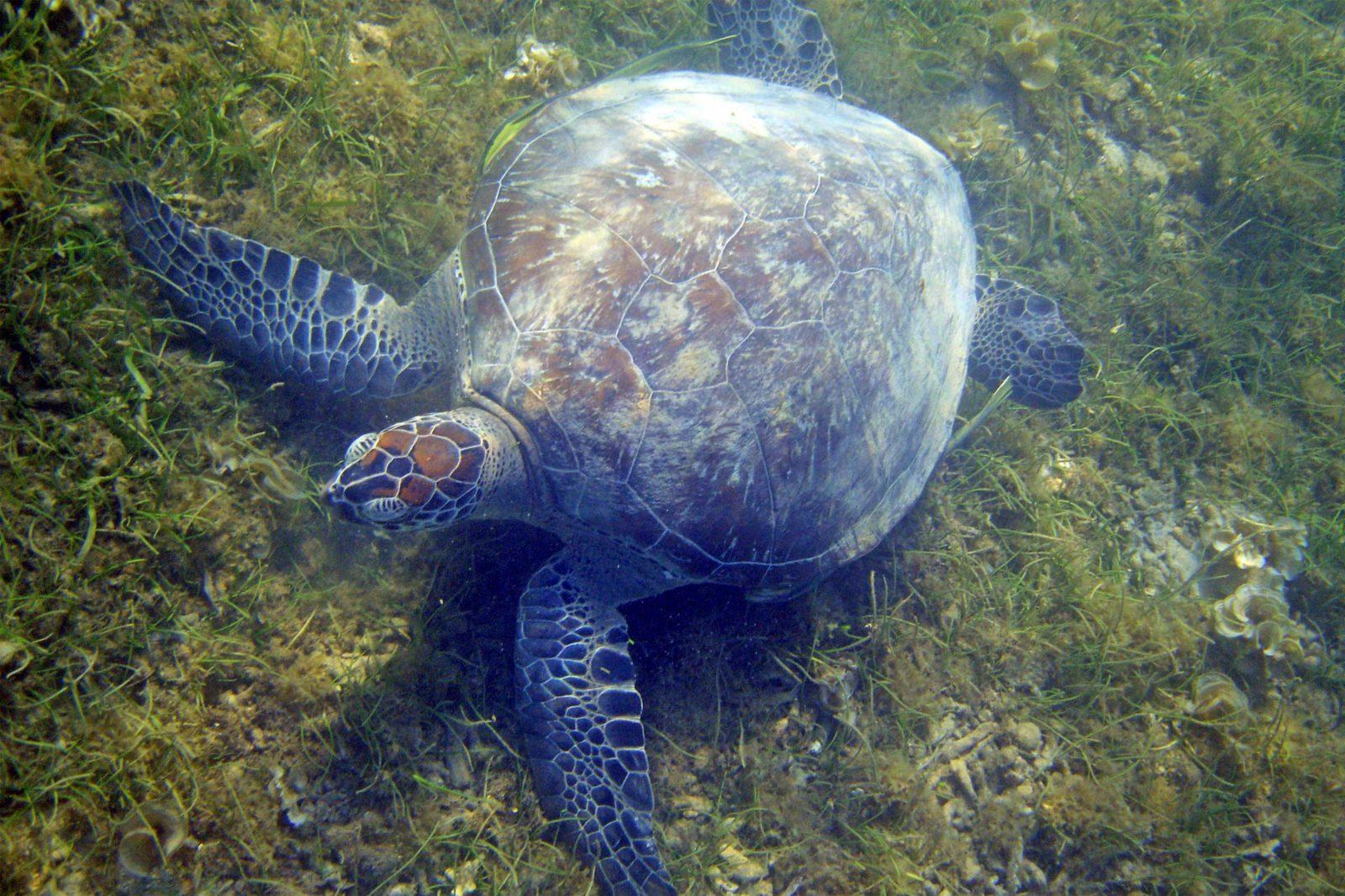 Green-turtle-(2)