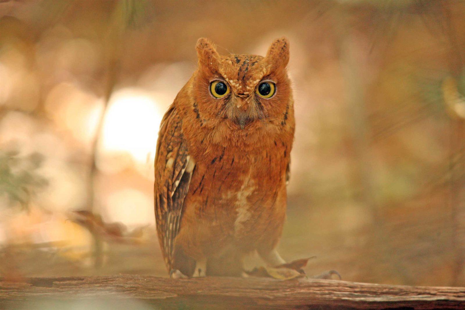 Mad-scops-owl-1