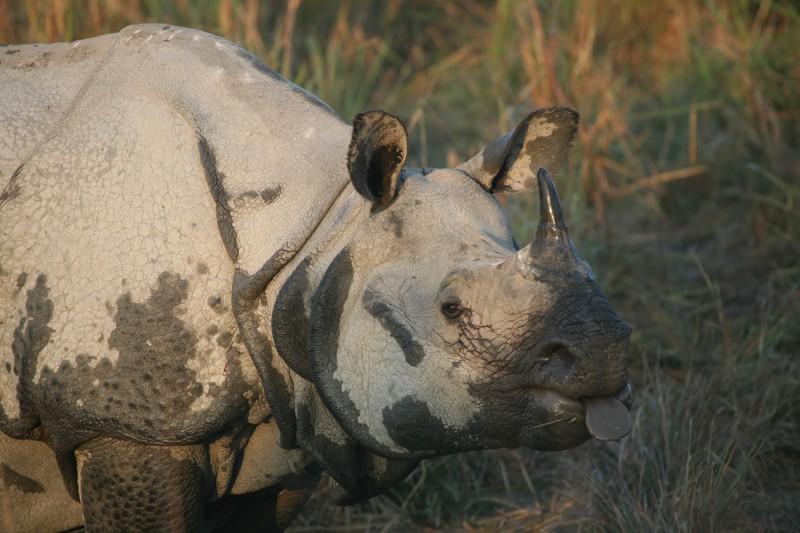 One Horned Rhino - As seen on our wildlife tours of India's Kaziranga National Park