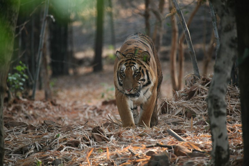 India-Tailormade-Tours-Tadoba-National-Park_Tiger