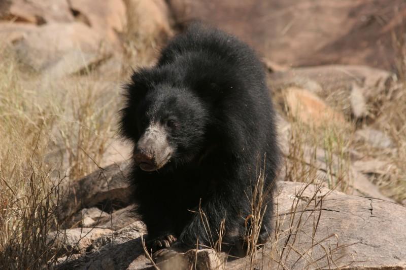India-Wildlife-Tours-Itinerary-1_Bear