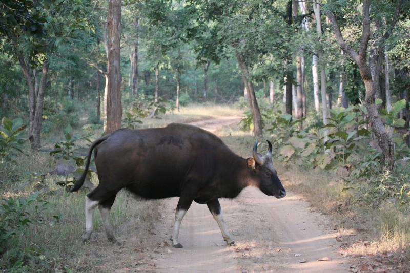 India-Wildlife-Tours-Itinerary-3_Bufalo