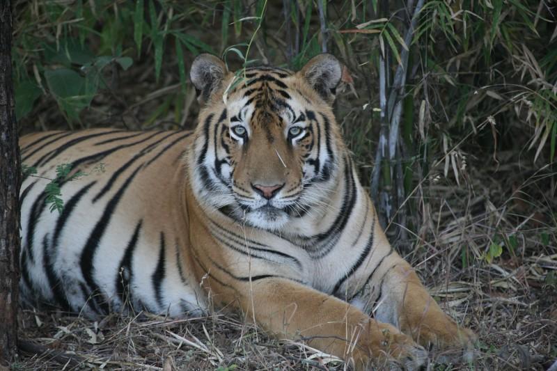 India-Wildlife-Tours-Itinerary-3_Tiger-2