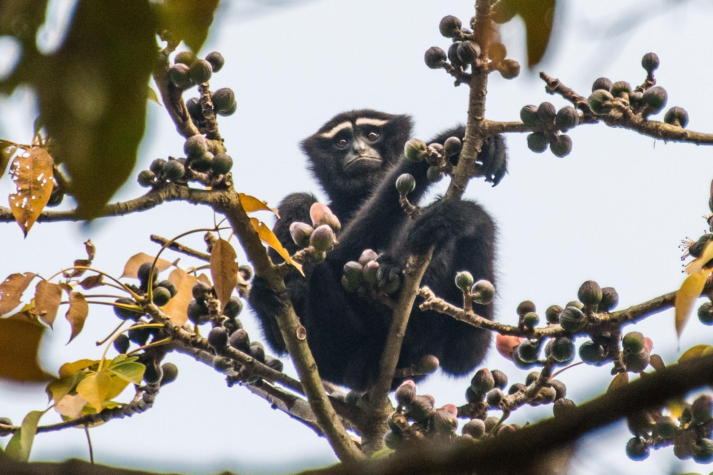 India Wildlife Tours Highlight - A Hoolock gibbon