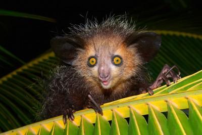 Madagascar-Holiday-Tours-Fakarina_Aye-aye-Lemur