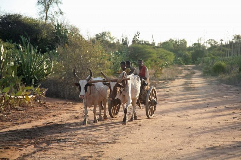 Madagascar-Wildlife-Tours-Ifotaka-Mandrare_Zebu cart 2
