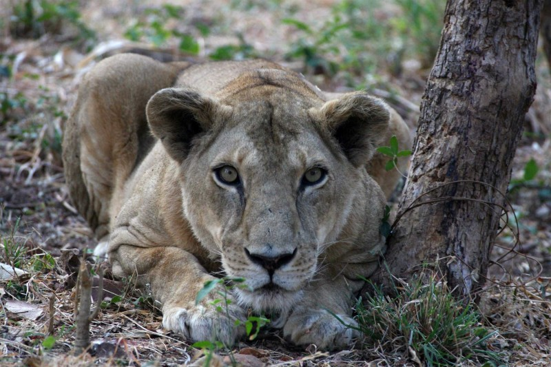 India Wildlife Tours Highlight - Asiatic lioness in Gir National Park