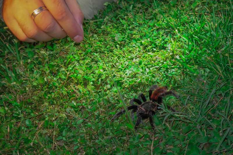 How to tickle a 'fluffy' out if its hole – a Red-rumped Tarantula (Brachypelma vagans) at Pook's