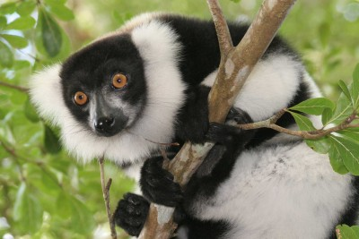 Madagascar-Tours-Magnificent-Wildlife-and-Landscapes_Black-and-white-ruffed-lemur