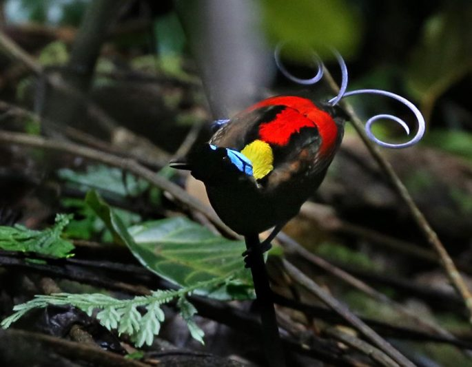 See Wilsons Bird of Paradise on our Indonesia Wildlife Tours