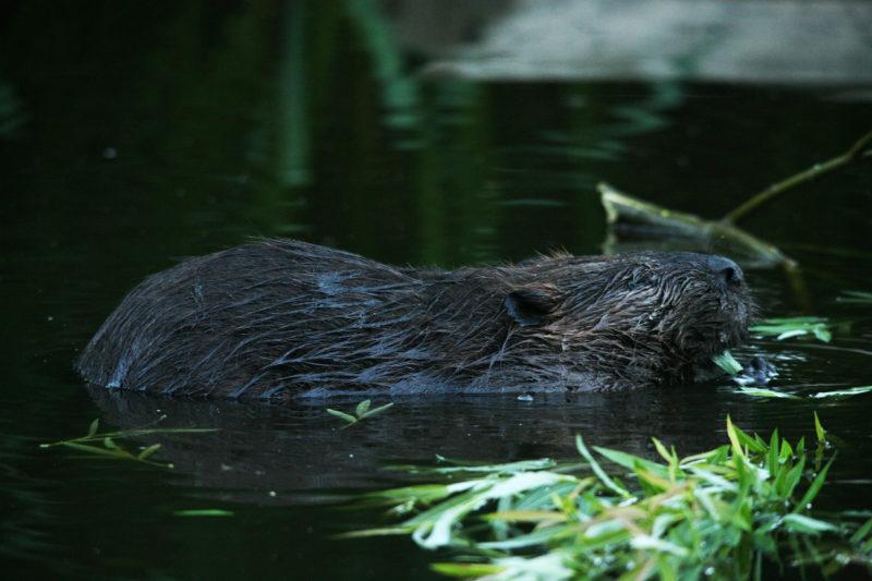 beaver 8