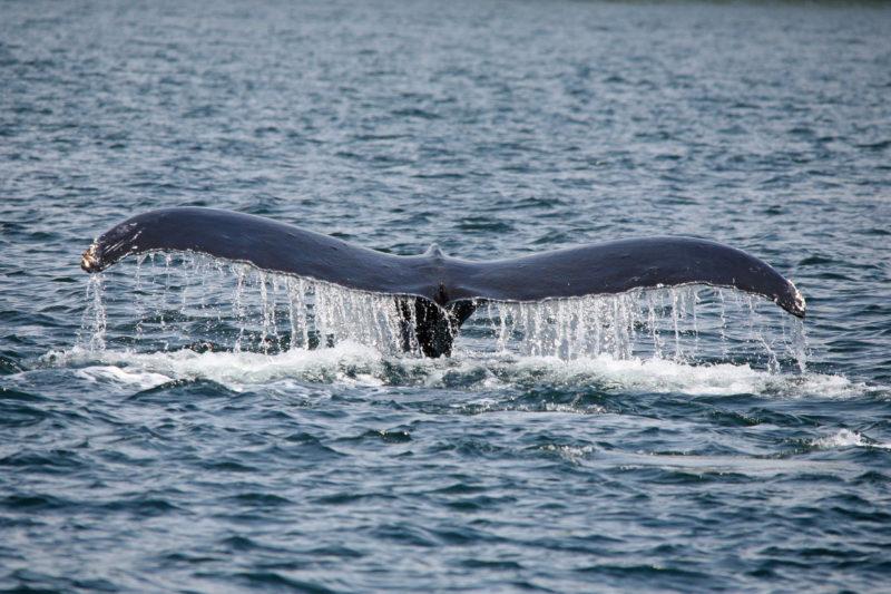 humpback 3