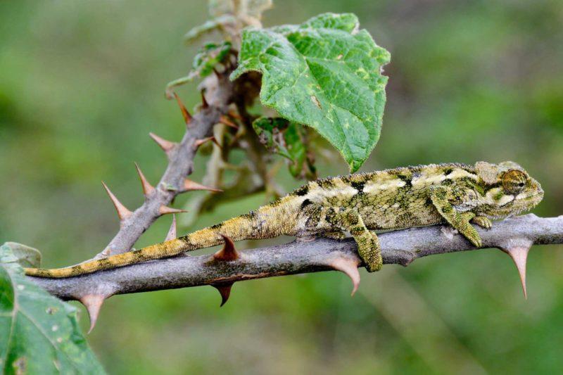 Rwanda-Wildlife-Tours_News_Chameleon