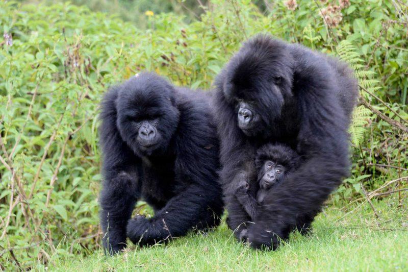 Rwanda-Wildlife-Tours_News_Mountain-Gorilla-3